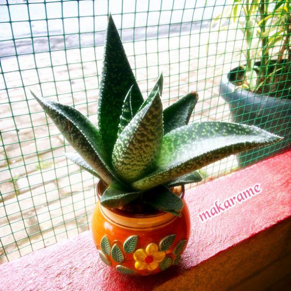 souvenir, kaktus, sukulen, makarame