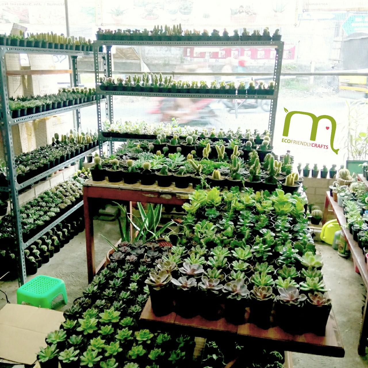 Souvenir Tanaman Kaktus Sukulen Mini Semarang Jogja Solo
