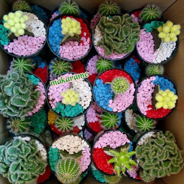 Paket Hemat Souvenir Tanaman Kaktus dan Sukulen Hias Tanpa Kemasan