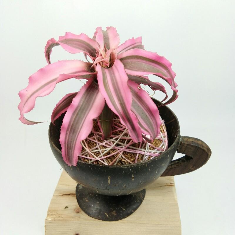 kokedama, kriptantus, pink, cangkir, batok, kelapa